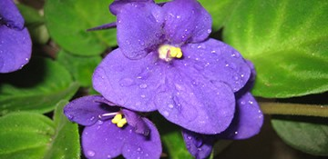紫罗兰的养殖方法 教你怎样养紫罗兰