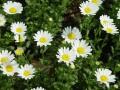 白晶菊生长习性和繁殖方法详解