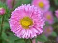翠菊制作切花的方法和生长习性详解