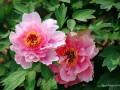 教你如何分辨牡丹花品种与鉴别技巧