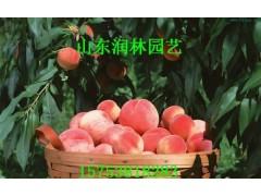 水蜜桃桃树小苗 水蜜桃桃树种苗