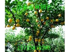 黄金梨小苗 黄金梨树苗