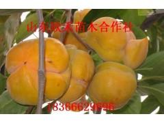 磨盘柿子树苗