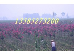 大叶女贞、红花紫薇、红叶李、垂柳、合欢、法桐、栾树、杨树