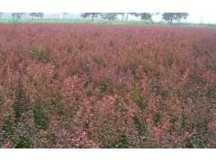 红叶小檗大量供应