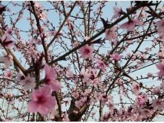 专供紫叶碧桃(红叶碧桃)桃核、芽苗、树苗
