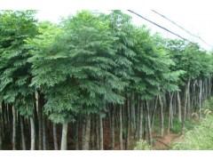 栾树基地主打栾树小苗、3-15公分黄山栾、北京栾树