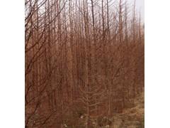 水杉树、东台水杉树、江苏水杉树