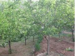 石榴树、石榴苗、石榴基地、石榴报价