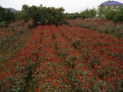 湖南红叶石楠 茶花 纹木 大叶栀枝 小叶女贞 海栀枝