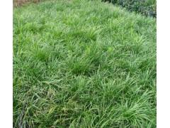 湖南马尼拉草皮 麦冬草 大小叶麦冬 台湾青草皮