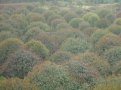湖南桂花 桂花价格 丹桂出产地 最红的桂花 品种最齐的桂花