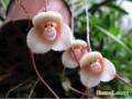 日本福岛县水族馆展出猴脸兰花