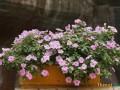 盆栽花卉不开花、落蕾的原因分析