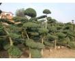 西府海棠、小叶女贞造型树、黄山栾树、大叶黄杨球、金丝柳、油松
