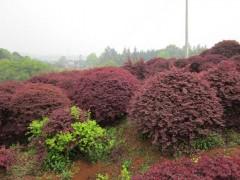 垂柳、红花继木球、鹅掌楸、金叶女贞球、马褂木、法国冬青、紫荆