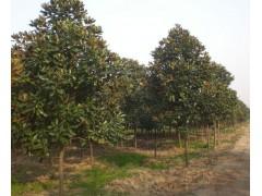 毛白杨、枸骨球、广玉兰、海桐球、合欢、国槐、水杉、木槿、云杉