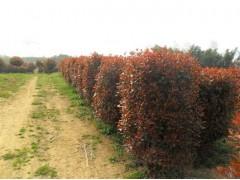 大叶女贞、月季、红叶石楠球、紫薇、三叶草、草坪、四季桂、红枫