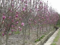 紫玉兰、白玉兰5-10公分