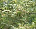 花叶复叶槭