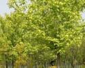 金叶复叶槭
