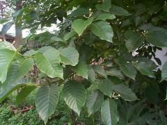 供应喜树、香樟、雪松