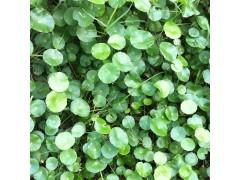 供应香菇草 南美天胡荽,金钱莲,水金钱,铜钱草