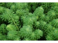 供应聚草 泥茜、穗状狐属藻