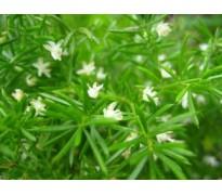 供应狐尾藻、布拉狐尾,粉绿狐尾藻,凤凰草