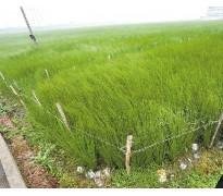 供应灯芯草、蔺草、龙须草、野席草、马棕根、野马棕