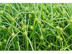 供应 直立苔草