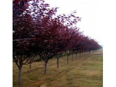 供应太阳李、榉树、赤枫