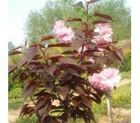 供应红叶樱花、榆叶梅
