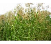 供应芦苇、灯芯草、牡丹、芍药