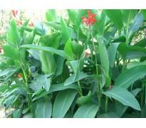 供应紫叶酢浆草、红花酢浆草、美人蕉