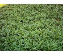 供应矮麦冬、玉龙草、黑麦草籽