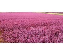 供应紫薇、日本女贞、十大功劳、红花继木