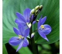 供应雨久花,蓝花菜,浮蔷