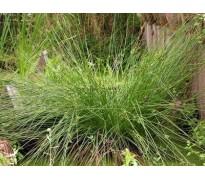 供应灯芯草、蔺草、龙须草、野席草、马棕根
