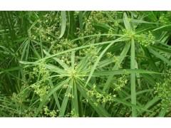 供应旱伞草,水竹