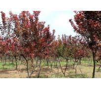 供应红叶李、重阳木