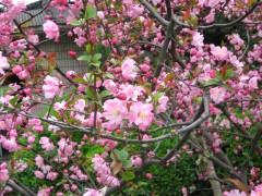 供应广玉兰,垂丝海棠、西府海棠、黄帽月季