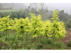 供应金叶水杉1~4米高,红枫,红梅
