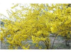 供应迎春、山麻杆、龙爪槐