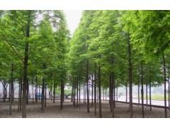 供应水杉、池杉、中山杉、落羽杉