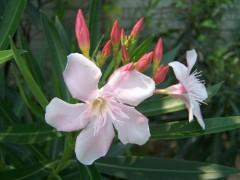 供应夹竹桃,紫荆,花石榴,木槿