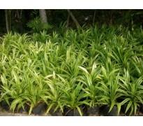 供应花叶良姜,沿阶草、葱兰