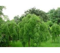 供应龙爪槐、无患子、榔榆树