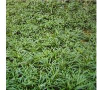供应矮麦冬、花叶珊瑚、常春藤
