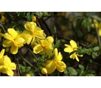 供应黄馨、结缕草、六月雪